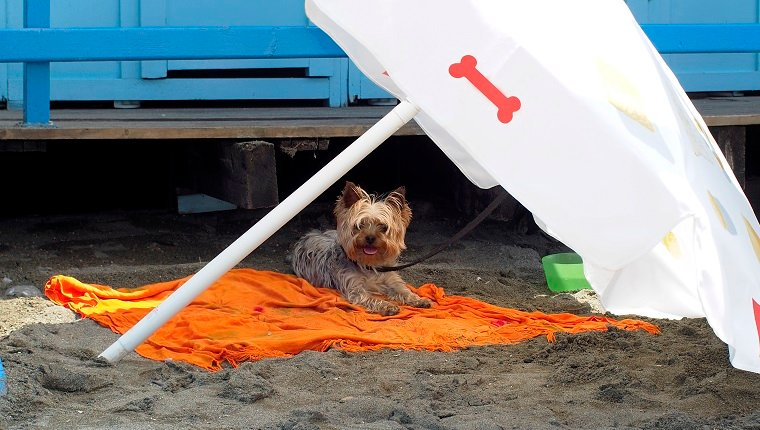 Yorkshire terrier under the shade