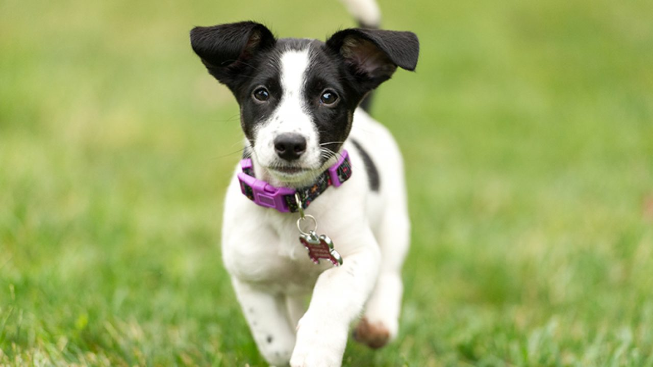 Jack Russell Terrier Puppies: Cute Pictures And Facts - DogTime