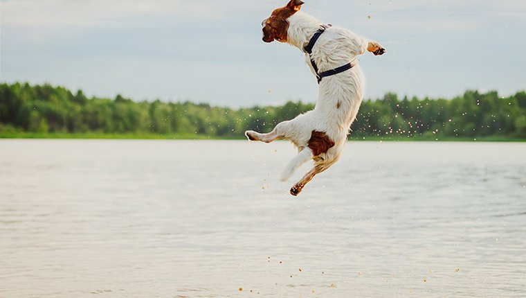 Jack Russell Terrier from back bouncing in water