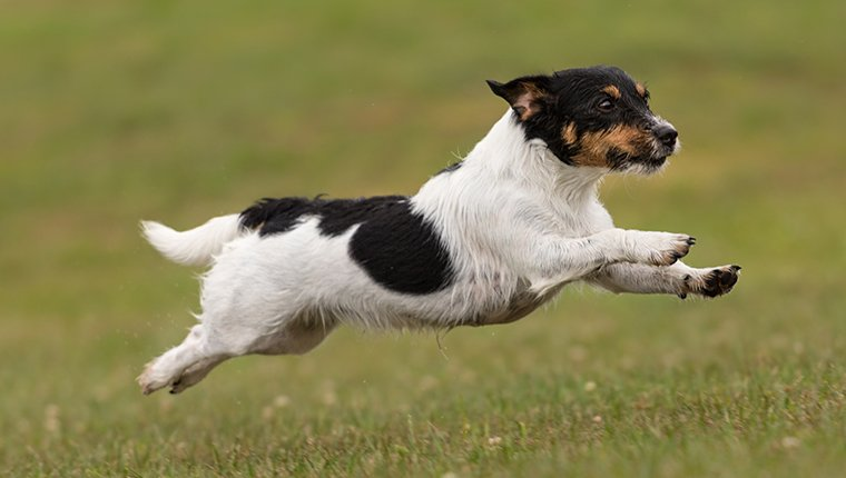 Cute small dog flies fast over a green meadow - Jack Russell Terrier
