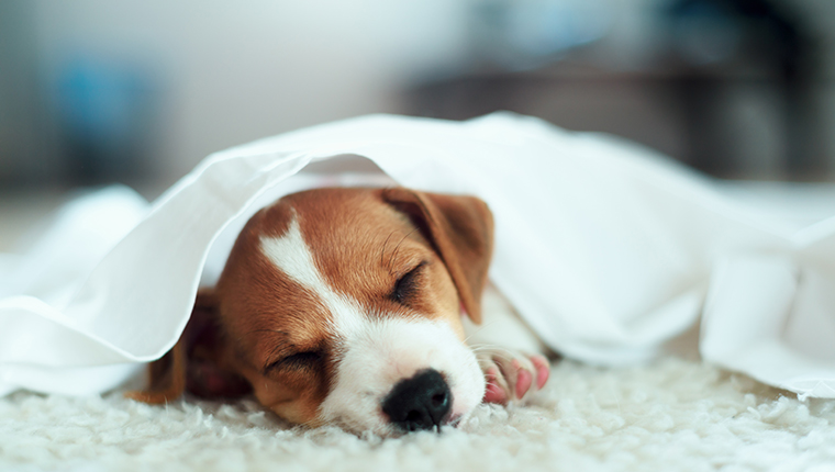 Jack russel terrier puppy sleeping on white bed. Small dog under white carpet