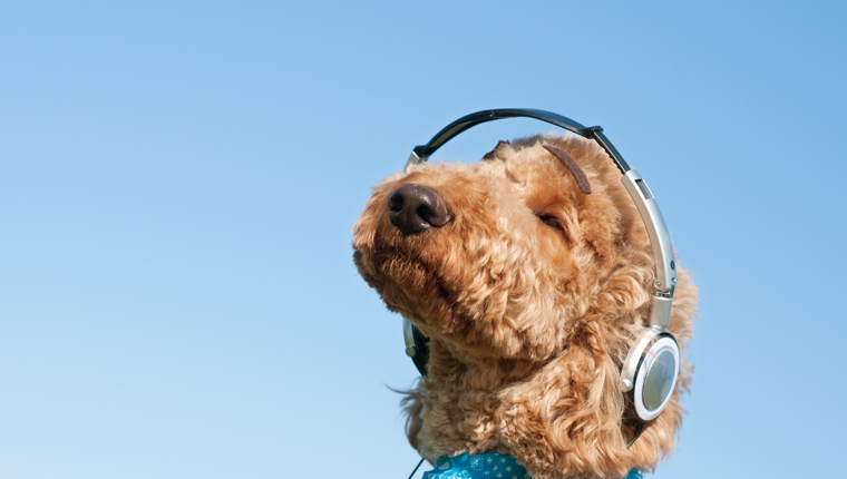 dog listening to podcasts