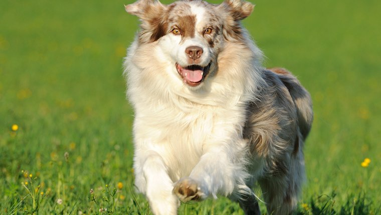 An Australian Shepherd running outside in the meadows. Nikon D3X. Converted from RAW.