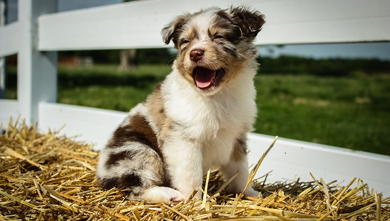 """""""Chase,"""" a happy Miniature Australian Shepherd smiles for the camera."""
