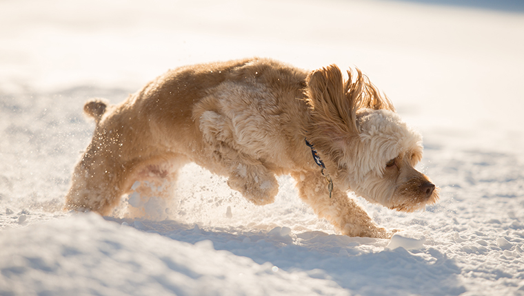 Cockapoo puppy jumping in deep snow.