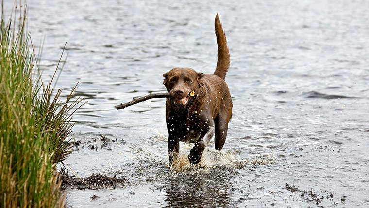 Labrador (Canis lupus familiaris) running with stick through water. (Photo by: Arterra/Universal Images Group via Getty Images)