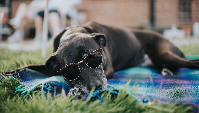 Older dog, lying on a rug, on grass, wearing sunglasses.