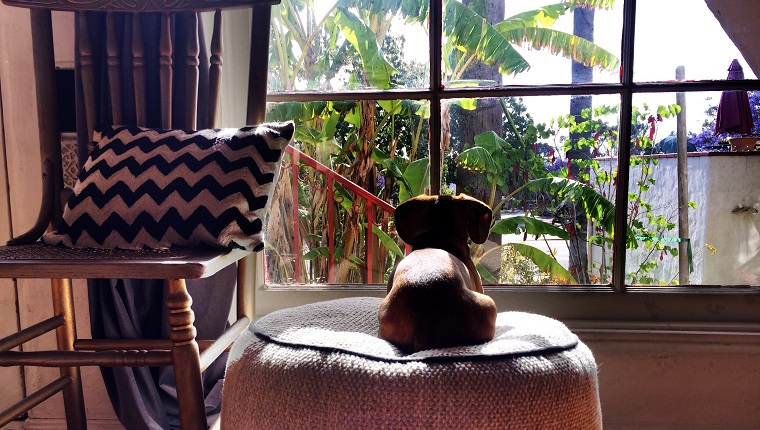 Dog Sitting On Ottoman Seat While Looking Through Window At Home