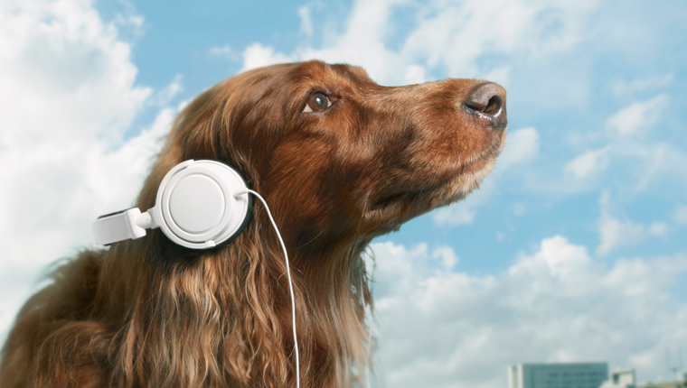 dog with headphones looks at blue sky