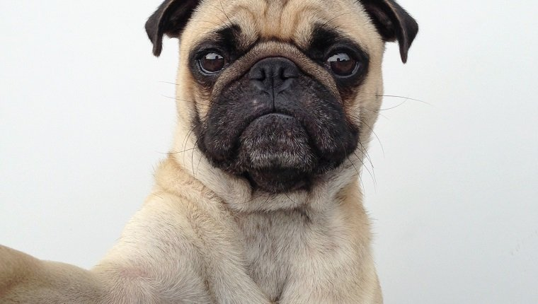 Pug dog taking a selfie