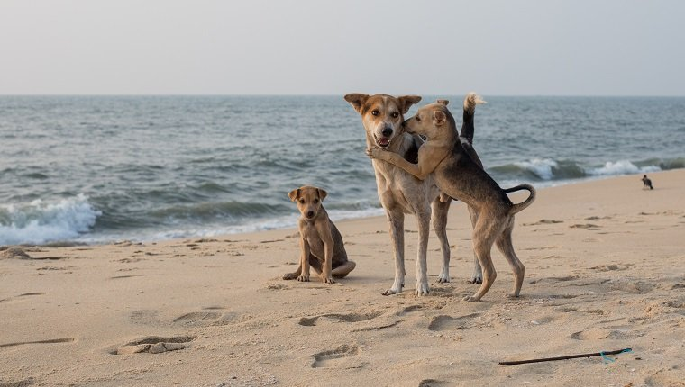Dogs Playing on the Beach in Kerala.