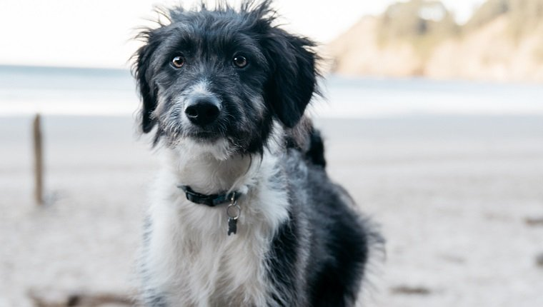 Bordoodle Mixed Dog Breed Pictures Characteristics Facts