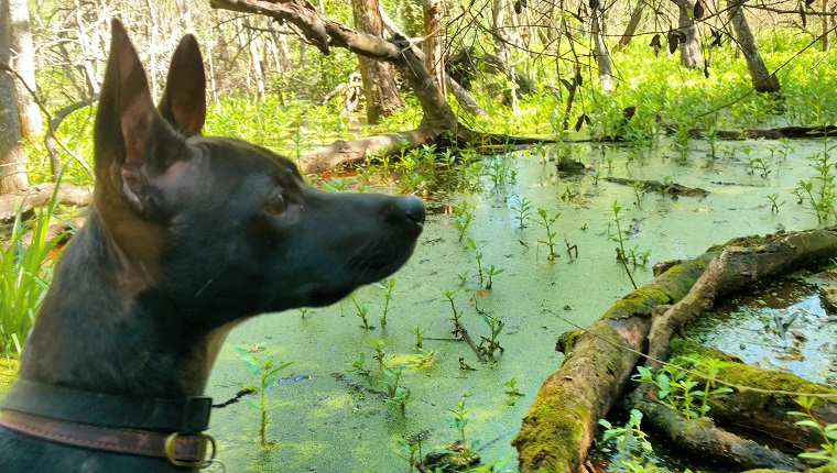 A small black dog stares out at the verdant green swamp wetland marsh pond in the suburbs of Houston, TX.
