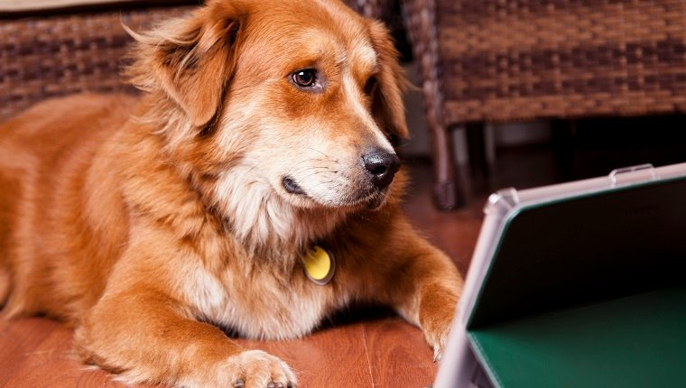 Golden retriever dog lies on home floor while watching his favorite canine program, surfing the internet, studying for school, or viewing a video on the digital tablet. Technology, pets, humor.