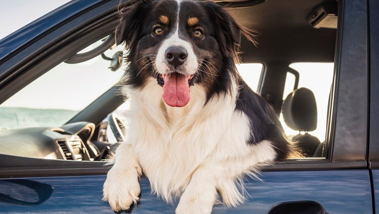 Dog leaning out window of car