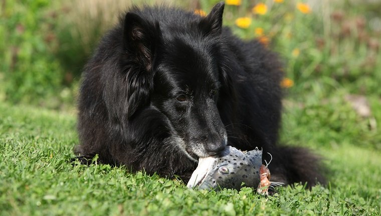 Hungry dog eating fresh fish in the garden