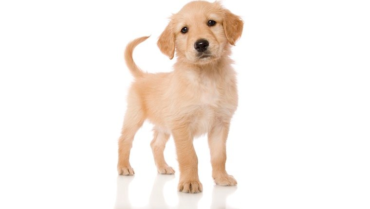 Golden Cocker Retriever Mixed Dog Breed Pictures Characteristics Facts