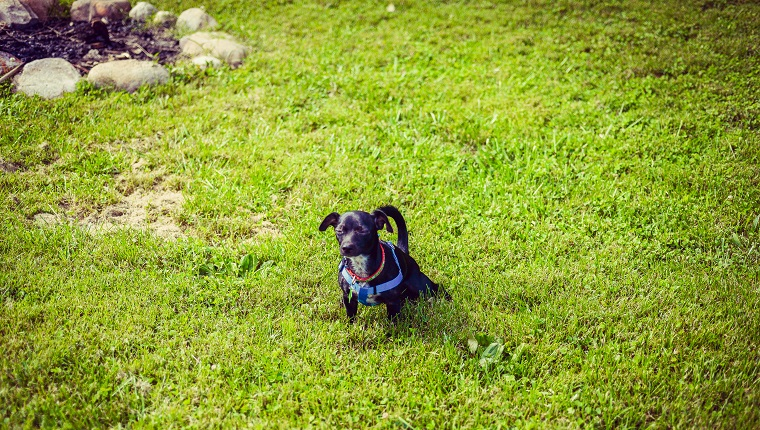 Small dog pees in the yard, looking very content to relieve herself
