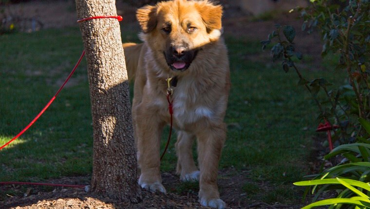 Golden Shepherd Mixed Dog Breed Pictures Characteristics Facts,Hummingbird Food Facts