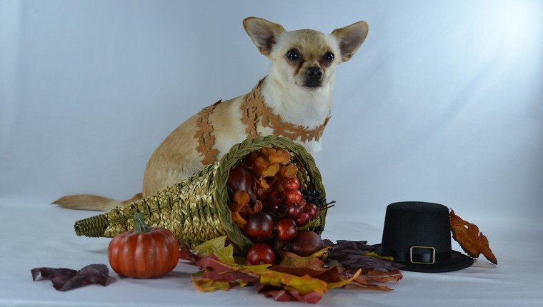 Chihuahua in autumn with Thanksgiving decorations.