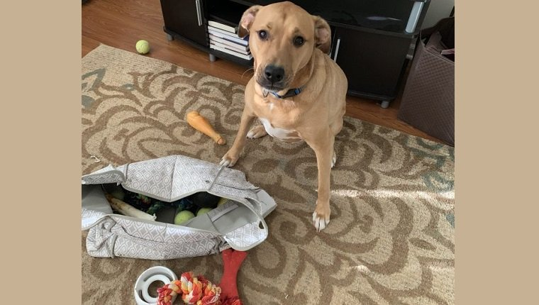 archer buries chews in toy bag