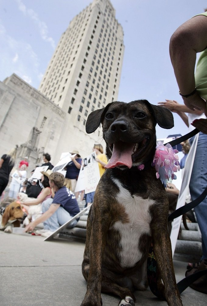 BATON ROUGE, LA - APRIL 17: Honey, a Boston Terrier/Boxer mix sits with her owner during a rally to support Senate Bill 607 by U.S. Senator Clo Fontenot (R-LA) at the Capitol Building April 17, 2006 in Baton Rouge, Louisiana. The bill would require plans for the humane evacuation and sheltering of service animals and household pets in a time of disaster.