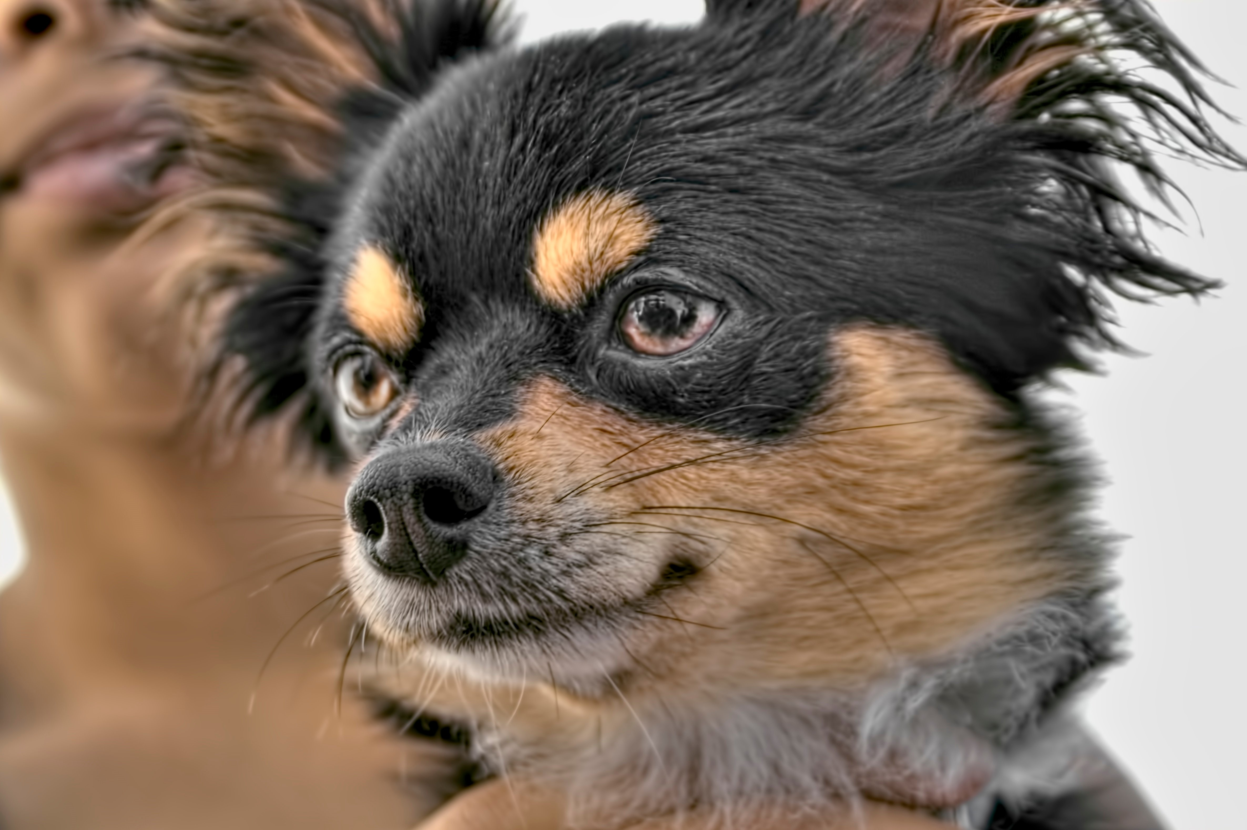 Six months old Affenhuahua is a small dog. It is a cross between the Affenpinscher and the Chihuahua.
