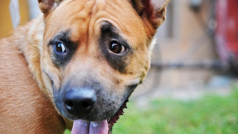 Akita Pit Mixed Dog Breed Pictures Characteristics Facts