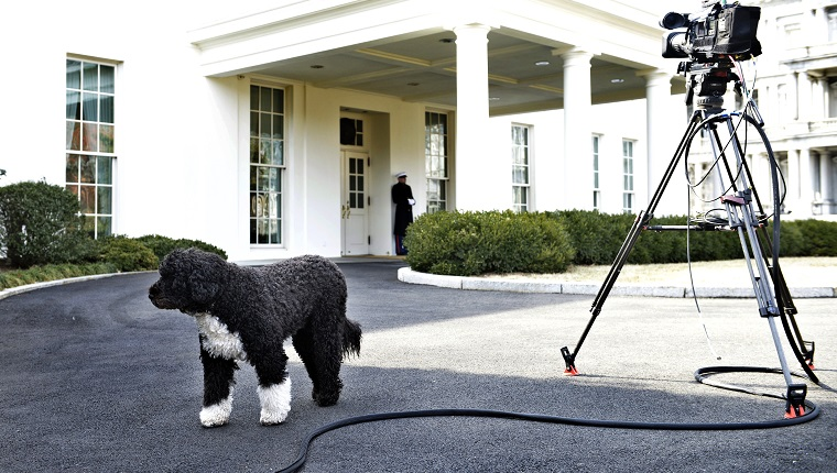 Bo, US President Barack Obama's dog, is seen outside the West Wing of the White House February 11, 2014 in Washington, DC. AFP PHOTO/Brendan SMIALOWSKI