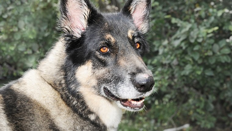 Akita Shepherd Mixed Dog Breed Pictures Characteristics Facts