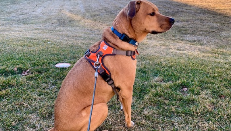archer with his embark adventure dog harness