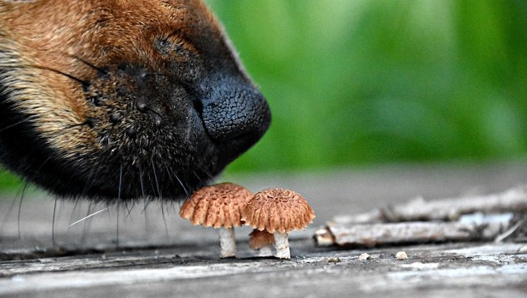 Close-Up Of Dog Smelling Mushrooms