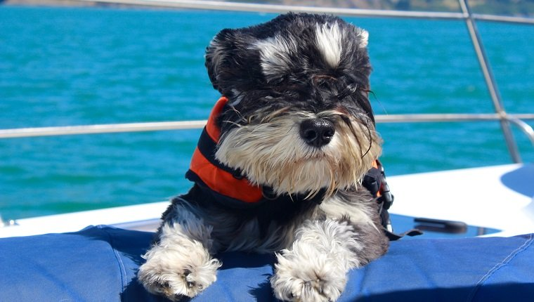 A beautiful schnauzer on a yacht chasing dolphins