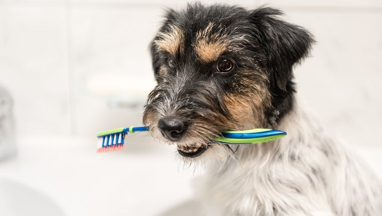 Dog sits with toothbrush in bathroom sink - Jack Russell Terrier