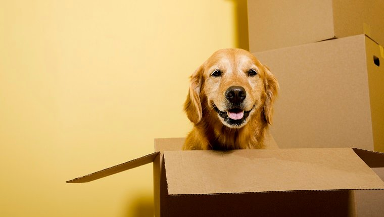 "A five year old happy Golden Retriever sitting in a moving box, with other boxes stacked against the wall. ""Dutchess"""