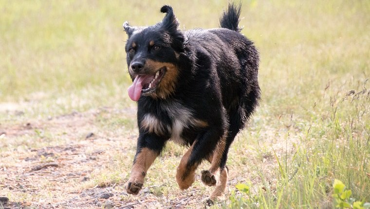 German Shepherd Rottweiler Mixed Dog Breed Pictures Characteristics Facts