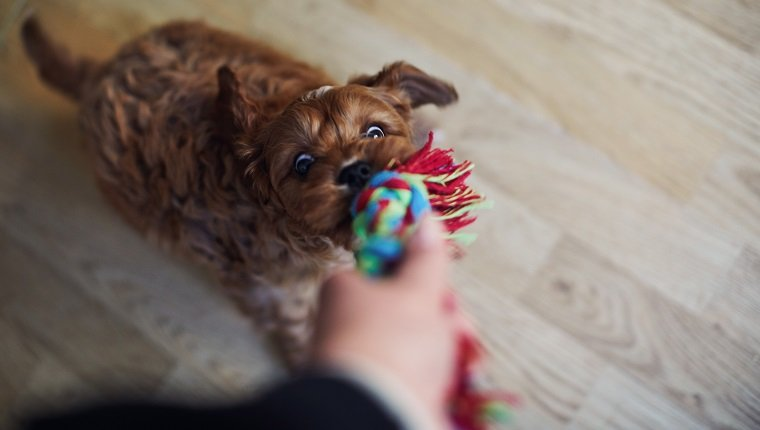 Puppy and owner playing tugging on rope toy