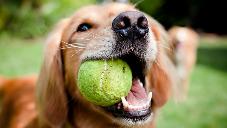 A close-up shot of a Golden Retriever with a yellow tennis ball in her mouth.