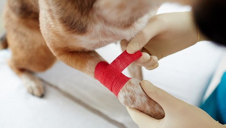 Overview of dog paw and gloved hands of doctor putting red bandage around