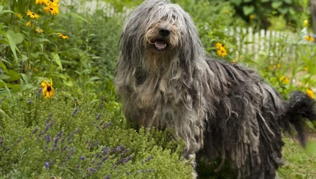 Bergamasco Sheepdog