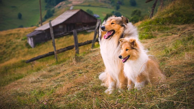 The collie is a distinctive type of herding dog, including many related landraces and formal breeds. The breed originated in Scotland and Northern England.