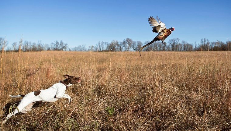 English pointer with rooster pheasant flushing out of a grass field.