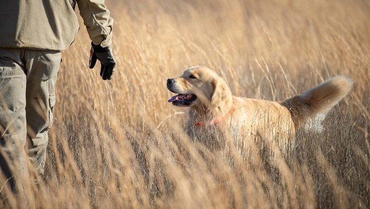 Adult male hunting upland game with a golden retriever.