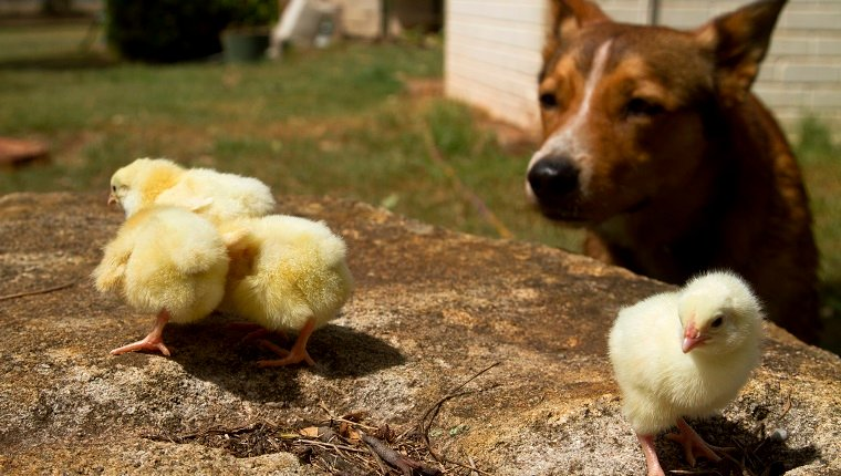 Dog close up to chicks.