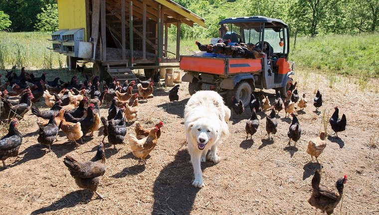 Portrait of pyrenean mountain dog and free range golden comet and black star hens on organic farm