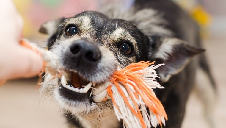 cute dog growls and gnaws the rope