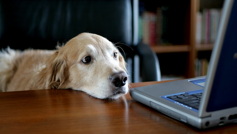 Photo of a golden retriever sitting in an office at a desk. This proves that any old dog can do an executive's job! ;)