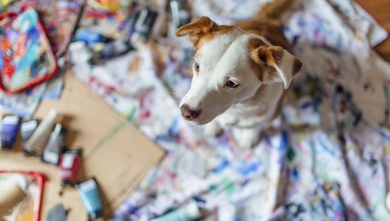 Small dog sitting on the floor covered in rags with paint on it