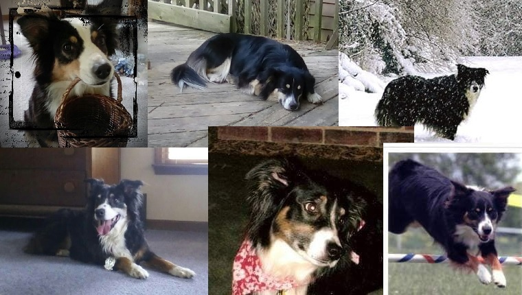 photo montage of Gayle's Aussie dogs.