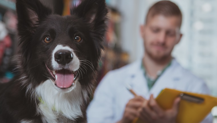 Close up of adorable happy healthy dog looking to the camera with its tongue out, vet doctor writing prescription on the background, copy space. Lovely canine looking happy after medical examination by vet